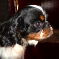 English Toy Spaniel Rescue