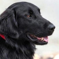 Flat-Coated Retriever Rescue
