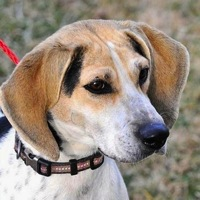 Virginia Foxhound Rescue