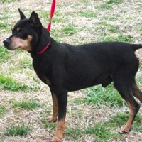 Washington German Pinscher Rescue