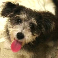 New York Glen of Imaal Terrier Rescue