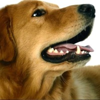 Egypt Golden Retriever Rescue