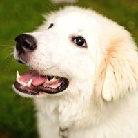 Maine Great Pyrenees Rescue