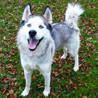 Hawaii Siberian Husky Rescue