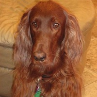 North Carolina Irish Setter Rescue