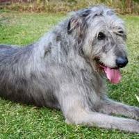 Irish Wolfhound Rescue