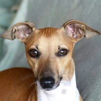 California Italian Greyhound Rescue