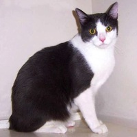 California Japanese Bobtail Rescue