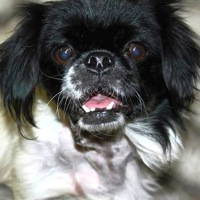 Japanese Chin Rescue