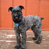 Missouri Kerry Blue Terrier Rescue