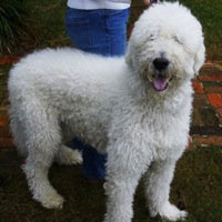 Tennessee Komondor Rescue