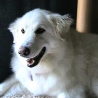 Texas Kuvasz Rescue