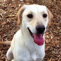 North Carolina Lab Rescue