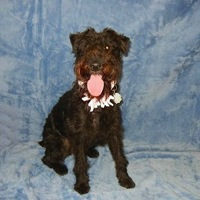 Arizona Lakeland Terrier Rescue