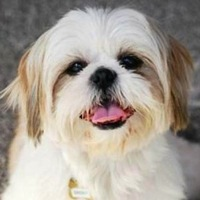 New Jersey Lhasa Apso Rescue