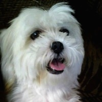 Maryland Maltese Rescue