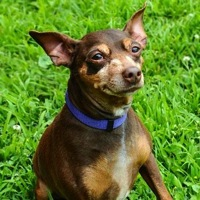 Miniature Pinscher Rescue
