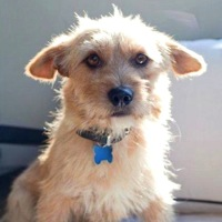 Norfolk Terrier Rescue