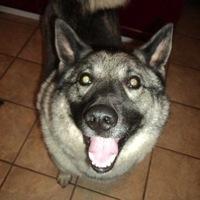 Norwegian Elkhound Rescue