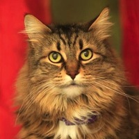 Norwegian Forest Cat Rescue