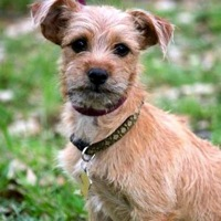 Norwich Terrier Rescue