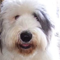 Texas Old English Sheepdog Rescue