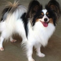 Texas Papillon Rescue