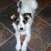 Parson Russell Terrier Rescue