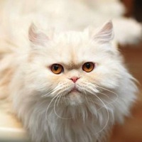California Persian Rescue