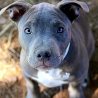 Wyoming Pit Bull Rescue