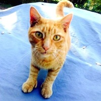 South Carolina Hemingway Polydactyl Rescue