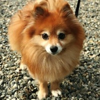 California Pomeranian Rescue