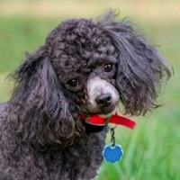 Hawaii Poodle Rescue