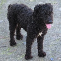 Portuguese Water Dog Rescue