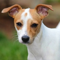 West Virginia Rat Terrier Rescue