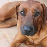 North Carolina Rhodesian Ridgeback Rescue