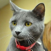 Russian Blue Rescue