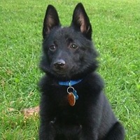 Illinois Schipperke Rescue