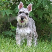 Washington Schnauzer Rescue