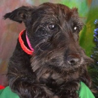 New Jersey Scottish Terrier Rescue