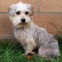 New York Sealyham Terrier Rescue