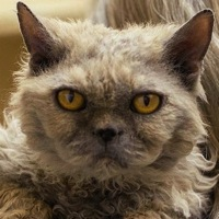 California Selkirk Rex Rescue