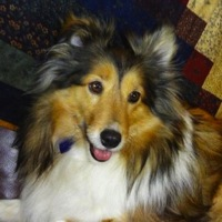 Virginia Shetland Sheepdog Rescue