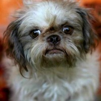 Texas Shih Tzu Rescue
