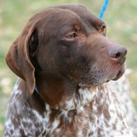 North Dakota German Shorthaired Pointer Rescue