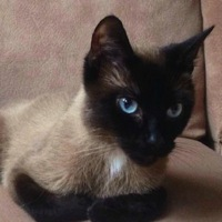 Kansas Siamese Rescue