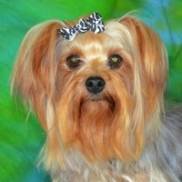 Alabama Silky Terrier Rescue