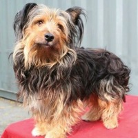 California Skye Terrier Rescue