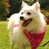 New Mexico Spitz Rescue