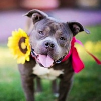 Tennessee Staffordshire Bull Terrier Rescue